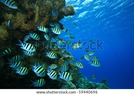 Shoal of Fish: Scissortail Sergeants on coral reef - stock photo