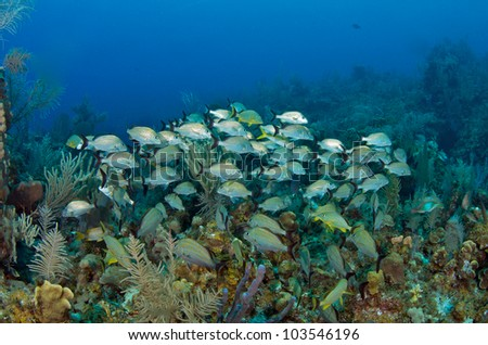 Shoal of Grunts and Snappers on the reef - stock photo