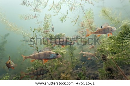 Shoal of perch in the lake - stock photo