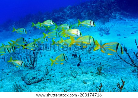 Shoal of porkfish grunt (Anisotremus virginicus) in the tropical waters of the caribbean sea  - stock photo