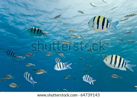 Shoal of sergeant fish