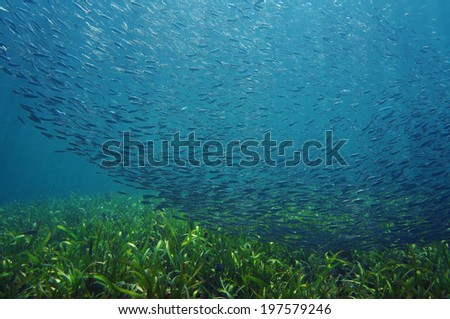 Shoal of small fish swimming together over seafloor with seagrass, Atlantic ocean - stock photo