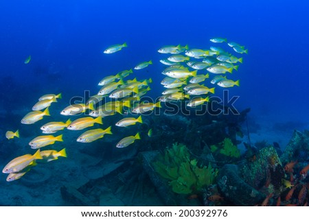 Shoal of Snapper over an underwater wreck - stock photo