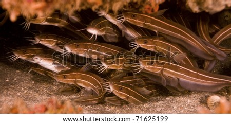 Shoal of striped catfish (Plotosus lineatus) hiding in a crevice in the reef. Taken in Bali, Indonesia.