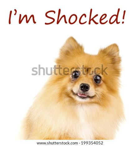 Shocked Pomeranian Expression - stock photo