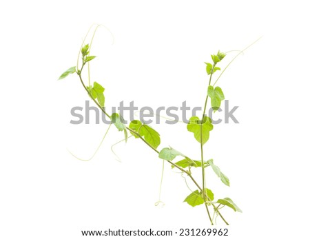 Shoots of ivy on white background - stock photo