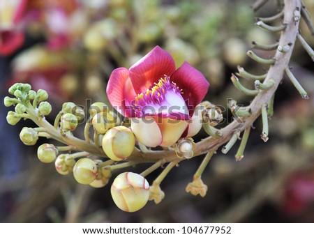 Shorea Robus flowers at Royal Palace of Cambodia - stock photo