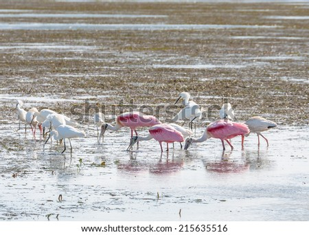 Shorebirds feeding on the flats in the Everglades - stock photo