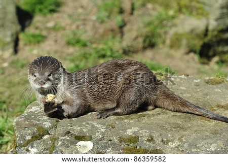 Short Clawed Otter playing with stone. - stock photo