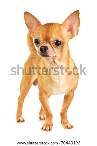 Short Hair Chihuahua Stock Images, Royalty-Free Images & Vectors ...
