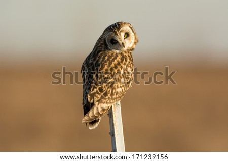 Short-eared owl perched on a post in an open meadow in winter