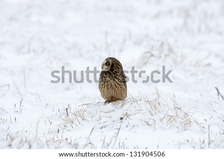 Short-eared owl perched on snow covered ground following a winter snowstorm - stock photo