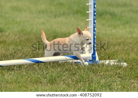 Short-Haired Chihuahua Leaping Over a Jump at a Dog Agility Trial - stock photo