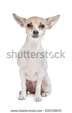 short haired chihuahua puppy in front of a white background