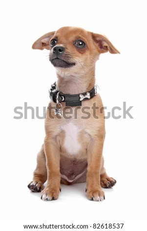short-haired Chihuahua puppy in front of a white background