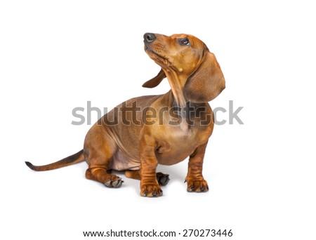 short haired Dachshund Dog isolated on white background - stock photo