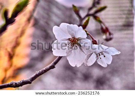 Short lived Sakura Cherry flower is the most popular flower in Japan. During its transient life, it brings people a happiness and joy of spring season. - stock photo