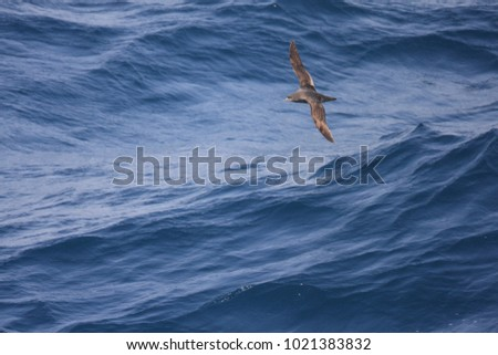 Short-tailed Shearwater (Puffinus tenuirostris) in Japan