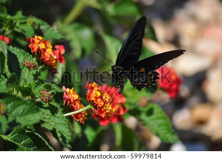 Short-tailed Swallowtail Butterfly on butterfly bush