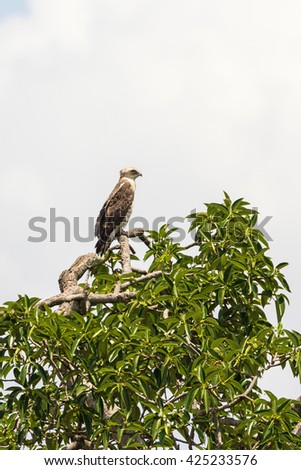 Short-toed snake eagle sitting in a tree top - stock photo