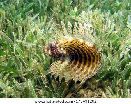 Shortfin dwarf scorpionfish - stock photo