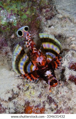 Shortfin turkeyfish, Dendrochirus brachypterus swims under a hard coral on a tropical reef. Underwater photo.