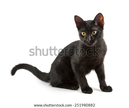 shorthair black cat posing over white - stock photo