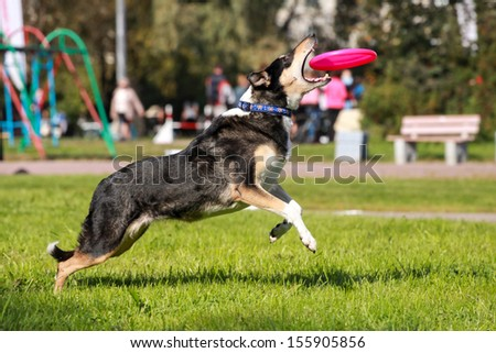 Shorthair collie catching frisbee - stock photo