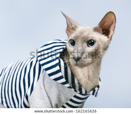 shorthair oriental cat, peterbald, on gray background