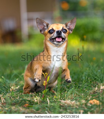 Shorthair red chihuahua playing at green grass