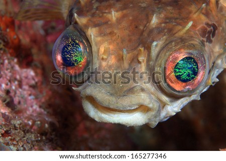 Shortspine porcupinefish (Cyclichthys orbicularis) with beautiful eyes - stock photo