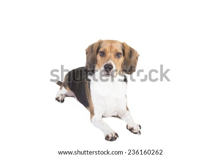 Shot of a beagle sitting down looking alert and at the camera - stock photo