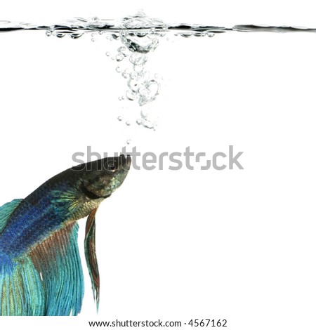 Shot of a blue Siamese fighting fish under water in front of a white background - stock photo