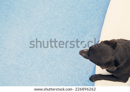 Shot of a Chocolate Labrador Looking over Swimming Pool - stock photo