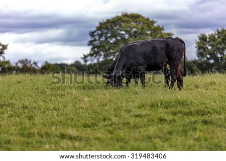 Shot of a Curious Cow in a field - stock photo