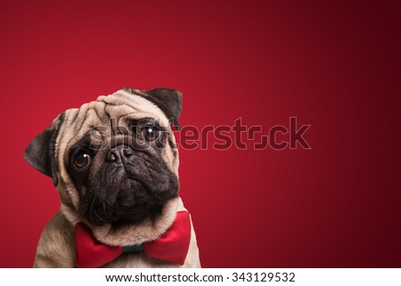 Shot of a cute pug puppy on a red background. - stock photo