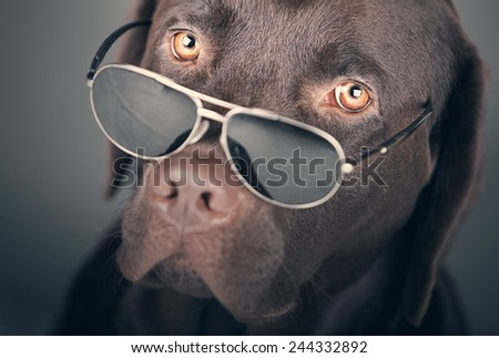 Shot of a Labrador with Sunglasses - stock photo
