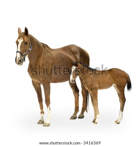 Shot of a Mare with her Foal in front of a white background - stock photo