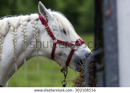 Shot of a pretty White Horse eating hay - stock photo