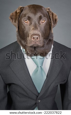 Shot of a Sophisticated Chocolate Labrador in Suit and Tie - stock photo