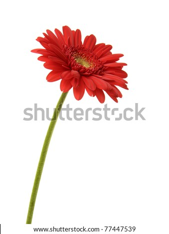 shot of one red Gerber Daisy with green stem - stock photo