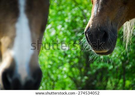 shot of the muzzle of horses - stock photo