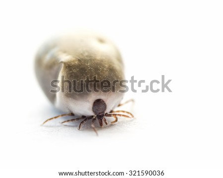 Shot of tick on white background, soft focus, shallow depth of field - stock photo