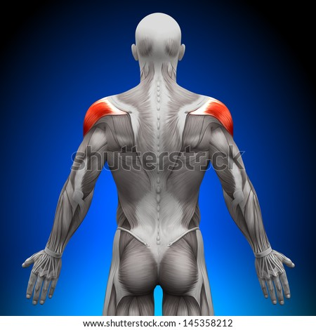 Shoulders - Anatomy Muscles - stock photo