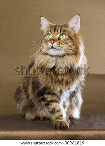 Show champion Maine Coon full body image - stock photo