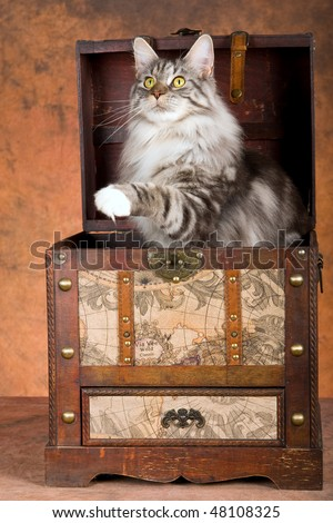 Show champion Silver Maine Coon inside steamer trunk, on brown mottled background - stock photo