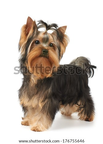 Show class puppy of the Yorkshire Terrier stands on white background - stock photo