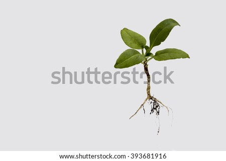 Showing an isolated plant on a white background