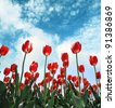 Showy spring blooming dutch red tulips - stock photo