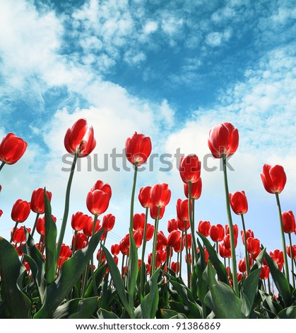 Showy spring blooming dutch red tulips